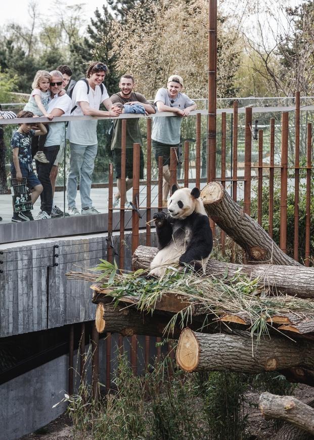 Casa Panda diseñada por BIG para los pandas gigantes Mao Sun y Xing E del zoo de Copenhague. Panda comiendo